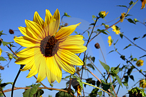 Wild Sunflower Free Stock Image