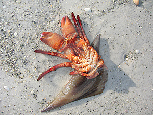 Mini-lobster-4318 Stock Photography