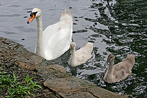 Mother Swan & Babies Stock Photos