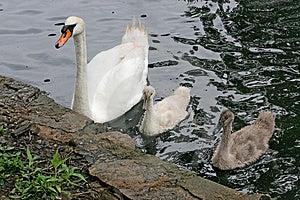 Cigno & bambini della madre Fotografie Stock
