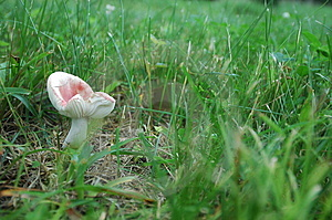 Mushroom On The Lawn Stock Image