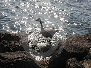 Goose On A Rock Free Stock Photos