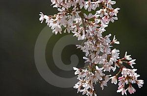 Дерево цветения Стоковые Изображения