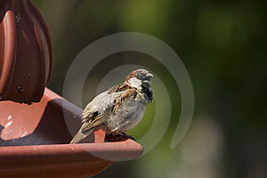 Sparrow Free Stock Photo