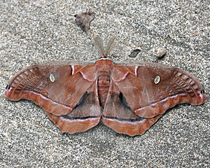 Two Moths Royalty Free Stock Images