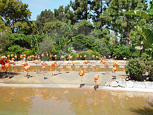 FLAMINGOES AROUND THE POND Royalty Free Stock Images