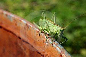 Locust Free Stock Images