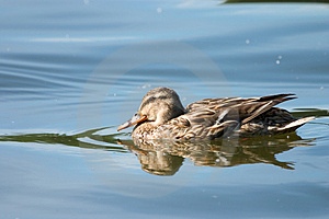 Swimming Duck Free Stock Photos