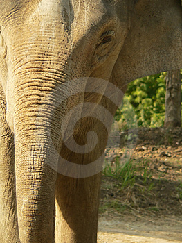 Close Crop Of Asian Elephant Free Stock Image