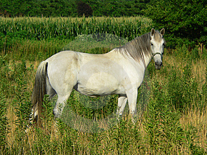 Beautiful Gray Horse, Horizontal Full Profile Stock Images