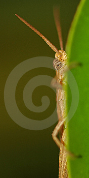 Peeking Grasshopper Stock Photos