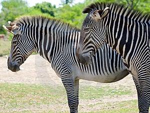 Closeup profile shot of two zebra Royalty Free Stock Photography