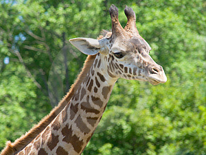 Closeup of giraffe's neck and head Royalty Free Stock Image