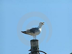 Seagull sentry Royalty Free Stock Image