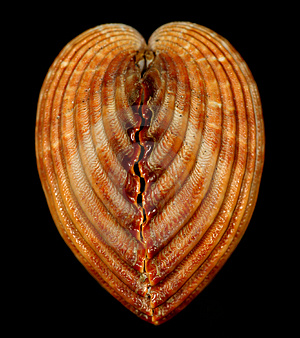 Heart Snail Shell Stock Photography - Image: 1806842