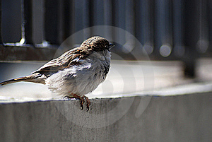 Sparrow Royalty Free Stock Image - Image: 18004166