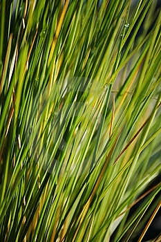 Green Blades Of Grass Royalty Free Stock Photo - Image: 18013105