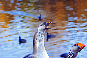 The Greylag Geese Asking For Food Stock Photo - Image: 18015650