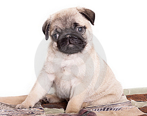 Pug Purebred Puppy Royalty Free Stock Photos - Image: 18026768