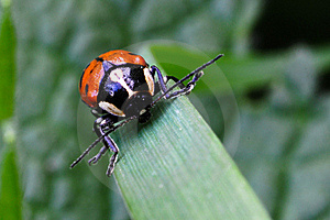 Red Beetle Royalty Free Stock Photography - Image: 18027367