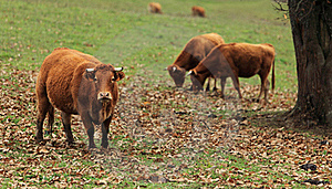 Cattle Stock Photography - Image: 18028602