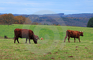 Brown Cattle Royalty Free Stock Photos - Image: 18029008