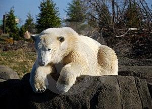 Polar Bear Sun Bathing Stock Image - Image: 18031431