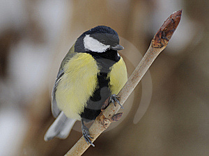 Great Tit (Parus Major) Royalty Free Stock Image - Image: 18039036
