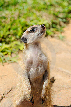 Meerkat Royalty Free Stock Images - Image: 18039859