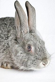 Gray Rabbit Stock Photos - Image: 18040223
