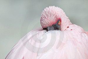 Pink Flamingo Stock Images - Image: 18051244