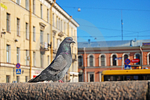 Dove St. Petersburg Royalty Free Stock Photography - Image: 18052007