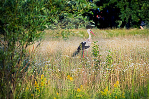 Stork On The Meadow Stock Photo - Image: 18055360