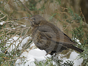 Common Blackbird Stock Photos - Image: 18055863