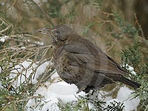 Common Blackbird Stock Photos - Image: 18055863