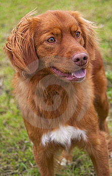 Nova Scotia Duck Tolling Retriever. Royalty Free Stock Photo - Image: 18058815