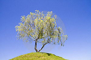 Isolated Weeping Willow Tree On A Hill Stock Photo - Image: 18069720