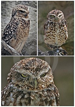 Owl Stock Photos - Image: 18084963