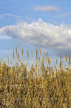 Reeds Stock Photos - Image: 18086923
