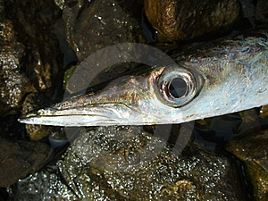 Barracuda Royalty Free Stock Images - Image: 18087459