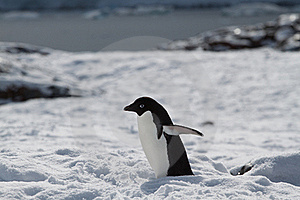 Adelie Penguin In Snow Royalty Free Stock Photo - Image: 18090255