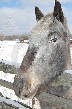 Gray Horse Royalty Free Stock Images - Image: 18092009