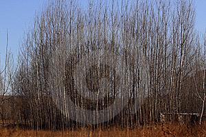 Poplar Trees In Winter Royalty Free Stock Photos - Image: 18096528