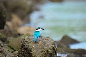 Collared Kingfisher Staring Royalty Free Stock Images - Image: 18097959