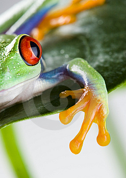 Frog Royalty Free Stock Images - Image: 1818709