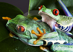 Two Frog Stock Image - Image: 1819421