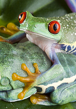 Two Frog Royalty Free Stock Photos - Image: 1819428