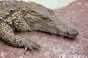 Nile Crocodile  Stock Images - Image: 18101364