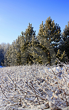 Snowy Trees And Clear Blue Sky Stock Images - Image: 18111044