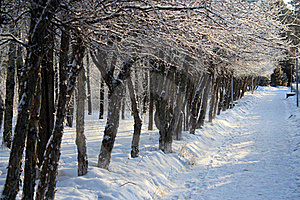 Trees In A Row In Winter Alley Stock Photography - Image: 18111062